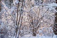 Snow covered leafless trees and shrubs in winter. Snow covered branches and trunks of trees and shrubs of deciduary forest. Joy and beauty of cold winter season Stock Photo