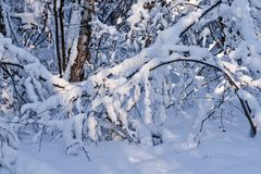 Snow covered leafless trees and shrubs in winter. Snow covered branches and trunks of trees and shrubs of deciduary forest. Joy and beauty of cold winter season Stock Photos