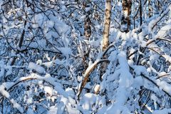 Snow covered leafless trees and shrubs in winter. Snow covered branches and trunks of trees and shrubs of deciduary forest. Joy and beauty of cold winter season Royalty Free Stock Photo