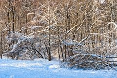 Snow covered leafless trees in winter forest. Snow covered branches and trunks of trees of deciduary forest. Joy and beauty of cold winter season. Merry Royalty Free Stock Image