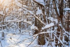Snow covered leafless trees in winter forest. Snow covered branches and trunks of trees of deciduary forest. Joy and beauty of cold winter season. Merry Stock Image