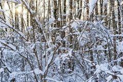 Snow covered leafless trees in winter forest. Snow covered branches and trunks of trees of deciduary forest. Joy and beauty of cold winter season. Merry Royalty Free Stock Photos