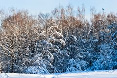 Snow covered leafless trees in winter forest. Snow covered branches and trunks of trees of deciduary forest. Joy and beauty of cold winter season. Merry Stock Photos