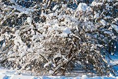 Snow covered leafless trees in winter forest. Snow covered branches and trunks of trees of deciduary forest. Joy and beauty of cold winter season. Merry Royalty Free Stock Photography