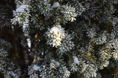 Snow-covered Leaves stock images