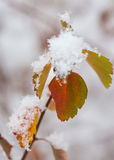 Snow covered leaves Stock Photos