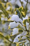 snow covered leaves of a tree Stock Photos