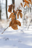 Snow covered leaves in winter Stock Photo