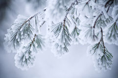 Snow covered leaves in winter. Details of snow on hanging leaves in winter scene Royalty Free Stock Photos