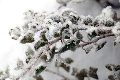 Snow covered leaves Stock Images