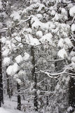 Snow covered leaves in winter Royalty Free Stock Image