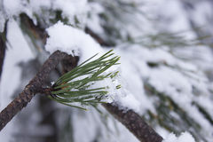 Snow covered leaves in winter royalty free stock photography