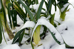 Snow covered leeks. In a allotment stock image