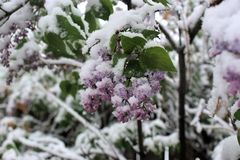 SNOW COVERED LILACS Stock Image