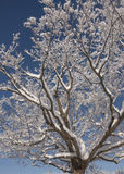 Snow-covered maple. This tree or maple covered with this beautiful snow on each of its branches makes it a beautiful Christmas tree, it only lacks balls of Stock Photos