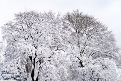 Snow covered maple trees. Two Snow covered maple trees stock image
