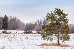 Snow covered meadow with ponderosa pine tree  in foreground. Winter landscape of ponderosa pine tree in snow covered meadow with leafless trees in background, in Royalty Free Stock Photo