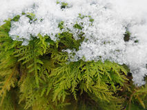 Snow covered moss Stock Image
