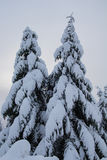 Snow covered mountain and fir trees Stock Photo