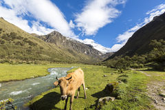 Snow covered mountain peak and cow in the field, Cordillera Blan Royalty Free Stock Photography