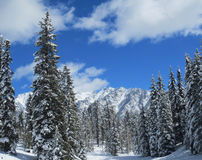 Snow covered mountain range and pines Stock Images