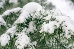 Snow-covered needles. Royalty Free Stock Images