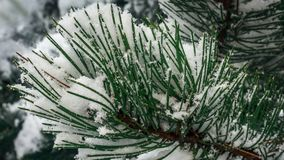 Snow covered needles. Snow has covered this pine tree`s needles and if you look closer you can see some of the icy crystals royalty free stock images