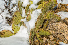 Snow covered northern Arizona cactus. Royalty Free Stock Image