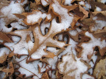 Snow Covered Oak Leaf. An Red Oak leaf is partially covered with snow Stock Images