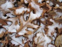 Snow Covered Oak Leaf Stock Images