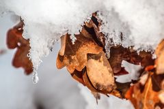 Snow covered oak leafs in the sun stock images