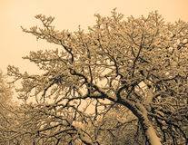 Snow covered oak tree branches Stock Image
