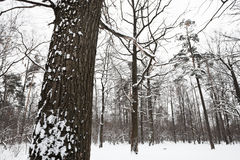 Snow covered oak tree on the edge of forest Stock Photo