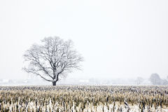 Snow-covered oak tree on field Royalty Free Stock Image