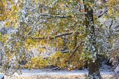 Snow covered old oak tree with autumnal colored leaves. A snow covered old oak tree with autumnal colored leaves Stock Photo