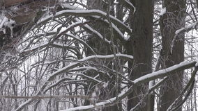 Snow covered old trees stock video footage