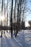 Snow-covered path in a birch grove. Stock Photos