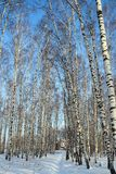 Snow-covered path in a birch grove. Stock Image