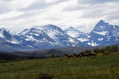 Snow covered peaks overlooking a herd of elk crossing a field ! Royalty Free Stock Photography