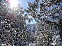 Snow-covered pijnboombomen Royalty-vrije Stock Foto