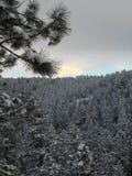 Snow-covered pijnboombomen Stock Foto's
