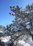 Snow-covered pijnboomboom Stock Foto