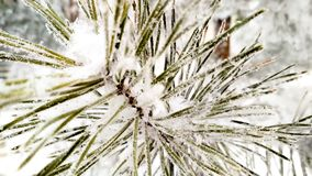 Snow-covered pijnboomtak royalty-vrije stock foto