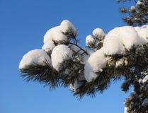 Snow-covered pijnboomtakje tegen blauwe hemelachtergrond Stock Fotografie