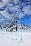 Snow-covered pine Stock Images