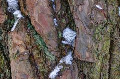 Snow covered pine bark Royalty Free Stock Photo