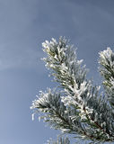 Snow covered pine branch Stock Photo