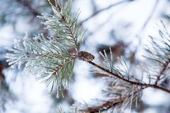 Snow-covered pine branch with a pine cone Royalty Free Stock Image