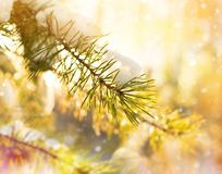 Snow-covered pine branch. royalty free stock images