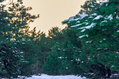 Snow-covered pine branch in focus and the green high forest in the background is blurred. Russia, Stary Krym. royalty free stock photos